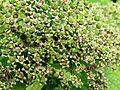 Spiraea albiflora Kiev5.JPG