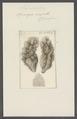 Spongia crispata - - Print - Iconographia Zoologica - Special Collections University of Amsterdam - UBAINV0274 112 05 0014.tif