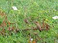 Spotted Munias feeding.jpg
