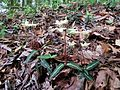 Spotted Wintergreen - Flickr - treegrow.jpg