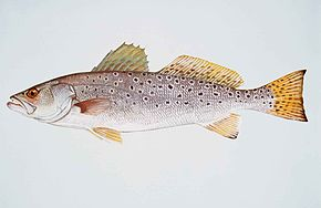 Spotted seatrout fish cynoscion nebulosus.jpg