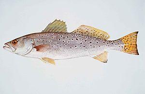 Cynoscion nebulosus - Image: Spotted seatrout fish cynoscion nebulosus