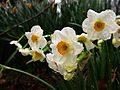 Spring-flower-bouquet-daffodil - West Virginia - ForestWander.jpg