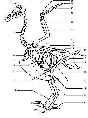 Vogelskelett – Wikipedia