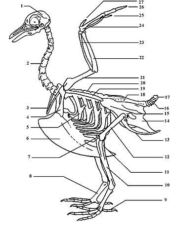 1 Schedel Cranium 2 Halswervel 3 Vorkbeen Furcula 4 Ravenbeksleutelbeen Os Coracoides 5 Rib 6 Borstbeenkam Carina Sterni 7
