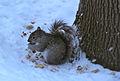 Squirrel-midwinter.jpg