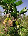 Stachelbeere bluete und fruchtansatz 3.jpg