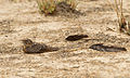 Standard-winged Nightjar 1.jpg