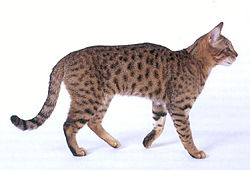 Un California Spangled spotted tabby
