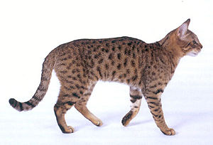 A California Spangled Cat