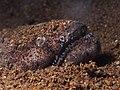 Stargazer snake eel (Brachysomophis cirrocheilos) (14419490013).jpg
