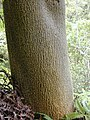 Starr-030405-0230-Zanthoxylum kauaense-trunk-Makawao Forest Reserve-Maui (24603817276).jpg