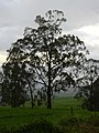 Starr-040423-0426-Eucalyptus sp-habit-Ulupalakua-Maui (24334080889).jpg