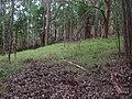 Starr-041214-1489-Eucalyptus sp-trail building-Makawao Forest Reserve-Maui (24092696144).jpg