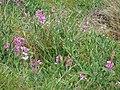 Starr-090430-6575-Lathyrus latifolius-flowering habit-Kula-Maui (24322355134).jpg