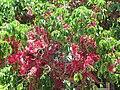 Starr-090609-0361-Syzygium malaccense-flowers and leaves-Haiku-Maui (24936919756).jpg