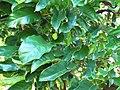 Starr-091104-0826-Artocarpus lingnanensis-leaves-Kahanu Gardens NTBG Kaeleku Hana-Maui (24357071194).jpg