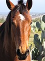 Starr-100302-3086-Opuntia ficus indica-habit with horse-Kaonoulu Ranch Kula-Maui (25011117425).jpg