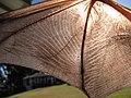 Starr-100907-9099-Eucalyptus sp-habitat with Hawaiian hoary bat Lasiurus cinereus semotus-Olinda-Maui (24420891084).jpg