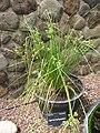 Starr-120504-5524-Cyperus trachysanthos-habit-Maui Nui Botanical Garden-Maui (24846533100).jpg