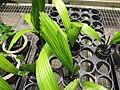 Starr-120522-6601-Licuala grandis-in pots-Iao Tropical Gardens of Maui-Maui (24848327960).jpg