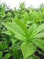 Starr-120620-7482-Camellia sinensis-leaves-Kula Agriculture Station-Maui (25052476971).jpg