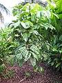 Starr-121108-0843-Canarium ovatum-habit-Pali o Waipio-Maui (25103219251).jpg