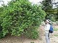 Starr-150325-0585-Citrus aurantifolia-with Kim surveying-Community Garden Sand Island-Midway Atoll (25266078375).jpg