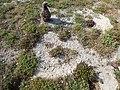 Starr-150328-0040-Paspalum setaceum-habit and Laysan Albatross chick-Near Old Fuel Farm Sand Island-Midway Atoll (25150289462).jpg