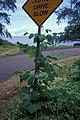 Starr-990810-1056-Pueraria montana var lobata-on sign-Keanae-Maui (24445535411).jpg