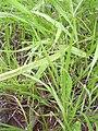 Starr 040217-0057 Panicum fauriei var. fauriei.jpg