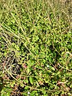 Starr 050224-4421 Achyranthes aspera var. aspera.jpg