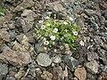 Starr 051003-7959 Tetramolopium humile subsp. haleakalae.jpg