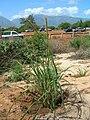 Starr 060216-6000 Eragrostis variabilis.jpg