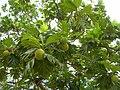 Starr 060703-8343 Artocarpus altilis.jpg