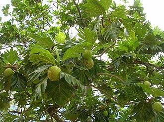 Artocarpus - Image: Starr 060703 8343 Artocarpus altilis