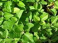 Starr 061108-9620 Achyranthes splendens var. splendens.jpg