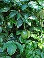 Starr 061128-1635 Passiflora edulis.jpg