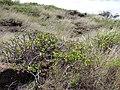 Starr 070404-6559 Hibiscus brackenridgei subsp. brackenridgei.jpg