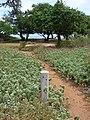 Starr 070607-7279 Vitex rotundifolia.jpg
