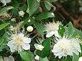 Starr 070621-7464 Myrtus communis.jpg