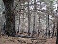 Starr 070908-9174 Pinus sp..jpg