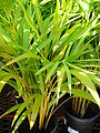 Starr 080103-1161 Chrysalidocarpus lutescens.jpg