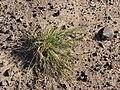 Starr 080207-2389 Sporobolus pyramidatus.jpg