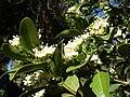 Starr 080812-9683 Psydrax odorata.jpg