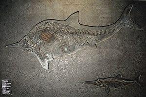 Stenopterygius - Stenopterygius quadriscissus