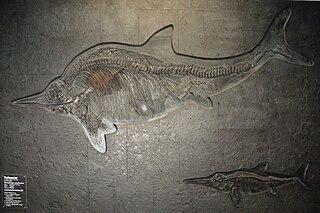 <i>Stenopterygius</i> genus of reptiles (fossil)