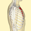 Sternum lateral3.png