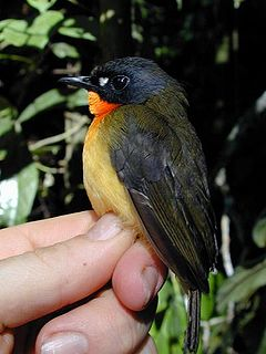 Olive-backed forest robin species of bird