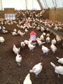 StoneBarns-ChickenCoop.tif